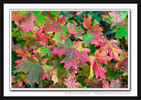 'Varigated Maples' ~ North Fork Park