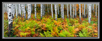 'Aspens and Ferns' - Wasatch Nat'l Forest