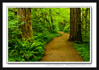 'Rain Forest Trail' ~ Silver Falls State Park