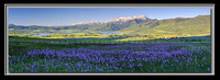 'Camas Lilly Explosion' - Ogden Valley