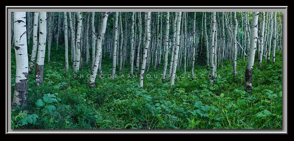 'Aspen Shade' ~ Alpine Loop/American Fork Canyon