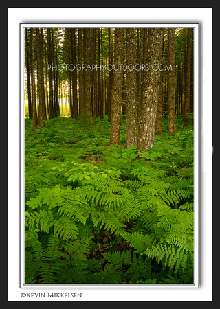 'Fern Forest' ~ Gifford-Pinchot Nat'l Forest