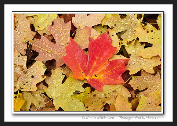 'Autumn Maple' ~ Wasatch/Cache Nat'l Forest