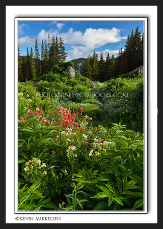 'Timberline Flora' ~ Albion Basin