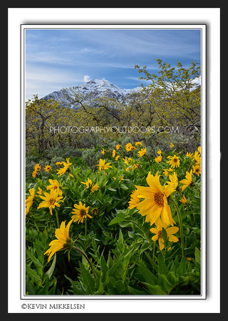 'Ben Lomond Blooms' ~ Bonneville Shoreline Trail
