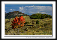 'Lone Maple' ~ Trappers Loop Hwy