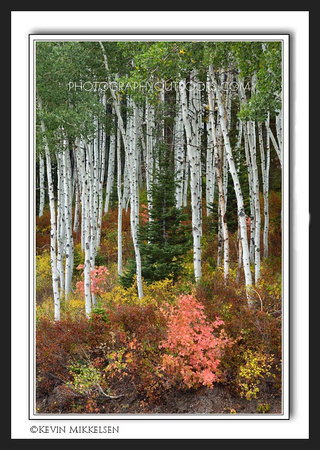 'Among the Aspens' ~ Empire Pass/Park City