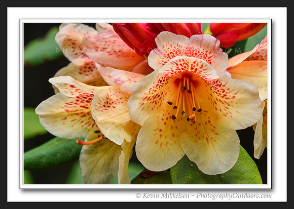 'Rhododendron Bloom' ~ Tumwater Park, Olympia
